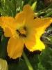 Bienen in Zucchineblüte