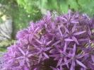 Biene auf Allium Globemaster