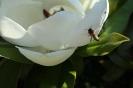 Biene im Anflug zur Magnolienblüte