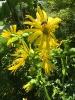 Biene auf 'Durchwachsene Silphie'