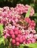 Biene auf 'Gewöhnlicher Seidenpflanze'